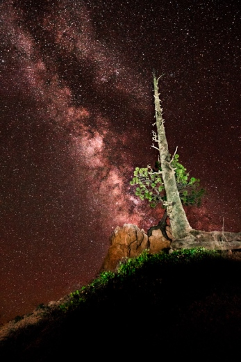 The milky way and a bare pine tree stretching skyward over Bryce Canyon, Utah.